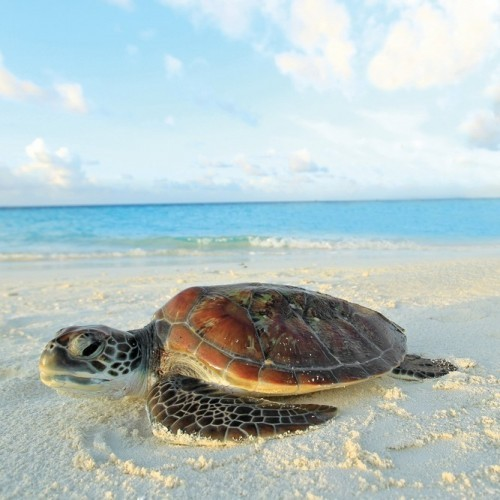 Turtle hatchling on the beach, Maldives