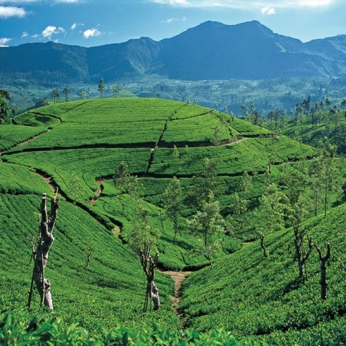 Tea plantations, Hill Country, Sri Lanka