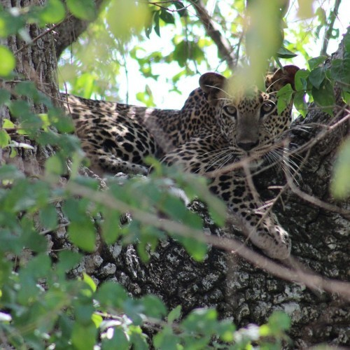Leopard up a tree, Yala West National Park, Sri Lanka