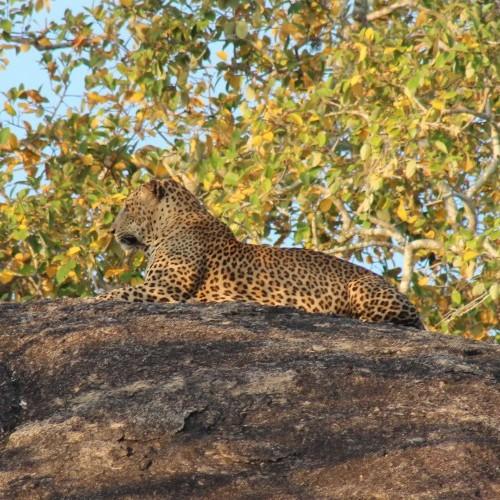 Leopard spotted on a family jeep safari in Yala West National Park, Sri Lanka